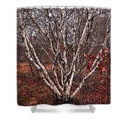 Beautiful White Birch Shower Curtain