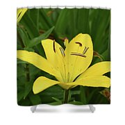 Beautiful Yellow Lily In A Garden During Spring Shower Curtain