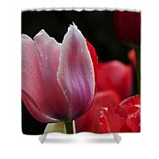Beauty Of Spring Tulips 1 Shower Curtain