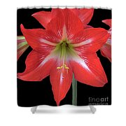 Beauty Of The Amaryllis Shower Curtain