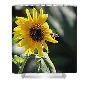 Bee Flying To Bright Lemon Yellow Wild Sunflower In High California Sun Shower Curtain