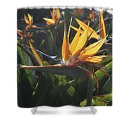 Bee Resting On The Petals Of A Bird Of Paradise  Shower Curtain