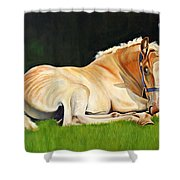 Belgian Horse Foal Shower Curtain