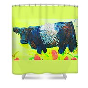 Belted Galloway Cow Looking At You Shower Curtain