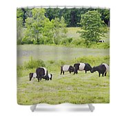 Belted Galloway Cows Rockport Maine Poster Prints Shower Curtain