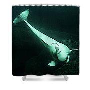 Beluga Whale 3 Shower Curtain