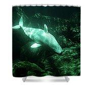 Beluga Whale 5 Shower Curtain