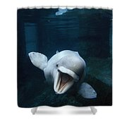 Beluga Whale Swimming With An Open Shower Curtain