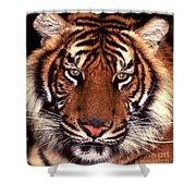 Bengal Tiger - 2 Shower Curtain