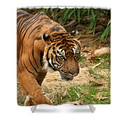 Bengal Tiger II Shower Curtain