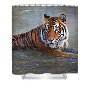 Bengal Tiger Laying Water Shower Curtain