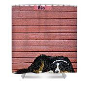 Bernese Mountain Dog Alertly Guarding Home. Shower Curtain