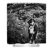 Bernese Mountain Dog Black And White Shower Curtain