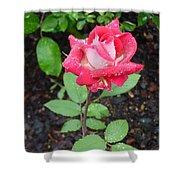 Bi-colored Rose In Rain Shower Curtain