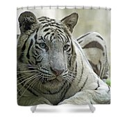 Big Cats 117 Shower Curtain