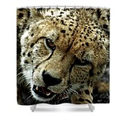 Big Cats 50 Shower Curtain