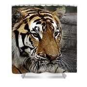 Big Cats 78 Shower Curtain