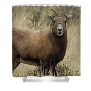Big Horn Ewe-signed-#7480 Shower Curtain