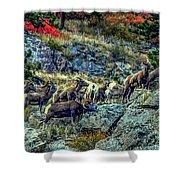 Big Horn Sheep - Close-up Shower Curtain