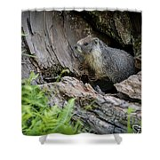 Big Tree Trail - Marmot - Sequoia National Park - California Shower Curtain