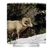 Bighorn In The Rockies Shower Curtain
