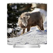 Bighorned Yearling - King Of The Hill Shower Curtain