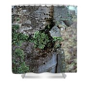 Birch Bark 1 Shower Curtain