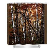 Birch Trees In The Fall Shower Curtain