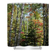 Birches In Fall Forest Shower Curtain