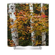 Birches In Fall Shower Curtain