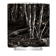 Birches In The Wood Shower Curtain