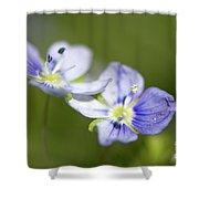 Birds Eye Speedwell Shower Curtain