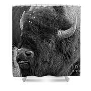 Black And White Bison In Heat Shower Curtain