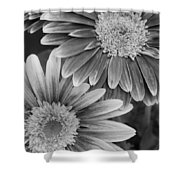 Black And White Gerber Daisies 2 Shower Curtain