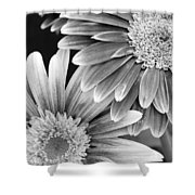 Black And White Gerber Daisies 3 Shower Curtain