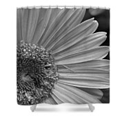 Black And White Gerber Daisy 5 Shower Curtain