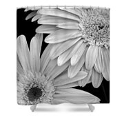Black And White Gerbera Daisies 1 Shower Curtain