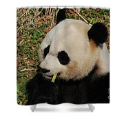 Black And White Panda Bear Eating Green Bamboo Shoots Shower Curtain
