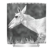 Black And White Pronghorn Portrait Shower Curtain