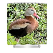 Black Bellied Whistling Duck Shower Curtain