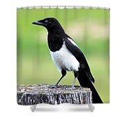 Black-billed Magpie Shower Curtain