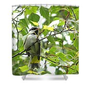 Black Capped Chickadee  Shower Curtain