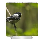 Black-capped Chickadee Shower Curtain
