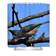 Black Crested Titmouse Shower Curtain