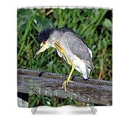 Black Crown Night Heron Scratching Shower Curtain