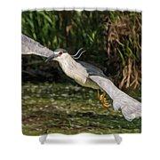 Black-crowned Night Heron In Flight Shower Curtain