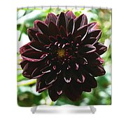 Black Dalia  Shower Curtain