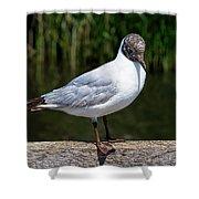 Black-headed Gull - Larus Ridibundus Shower Curtain
