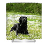 Black Lab Laying In A Field Shower Curtain