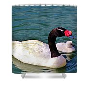 Black-necked Swan With Baby Shower Curtain